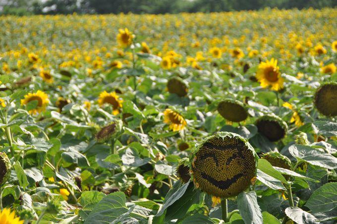 日本一を誇る北竜町「ひまわりの里」で黄色の絶景を!