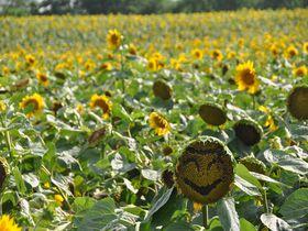 日本一を誇る北竜町「ひまわりの里」。なんと130万本が咲くお花畑。最北の広大な景色と一緒に楽しもう!