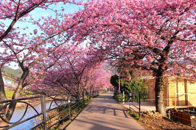 「河津桜まつり」とは