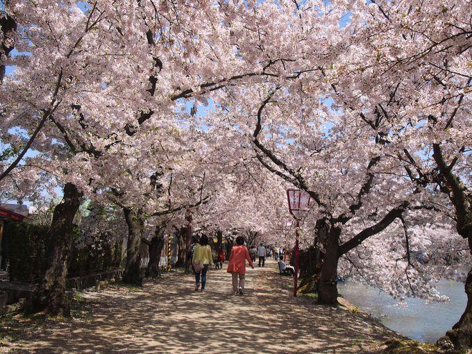 弘前の桜の歴史と、今年の開花予想!