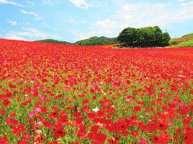 メディアでじわじわキテる!?「天空のポピー」畑が埼玉に出現