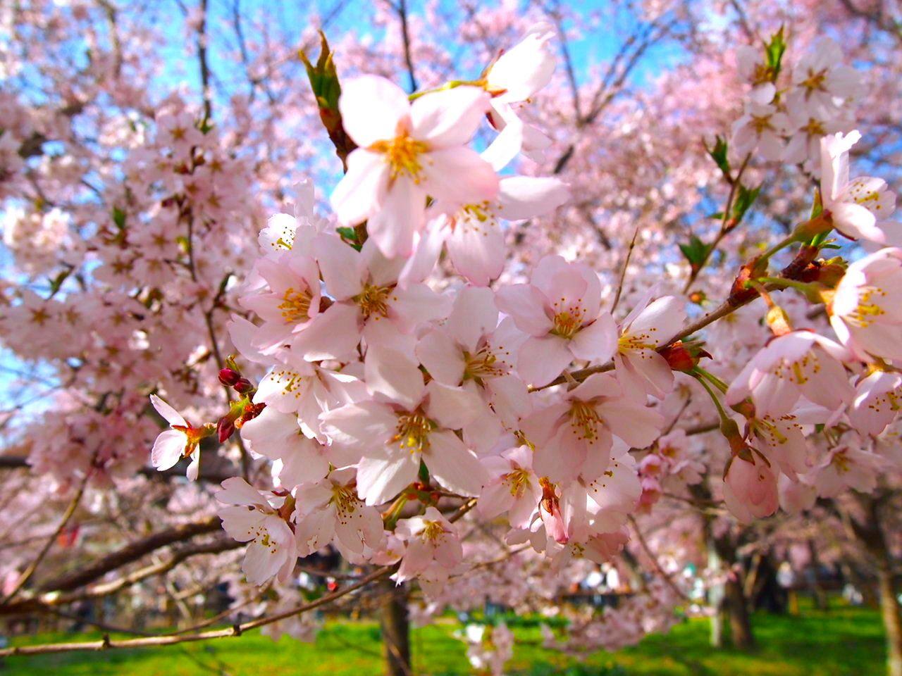 4月中旬が見頃!長野県「高遠城址公園」に咲く満開の桜を見に行こう