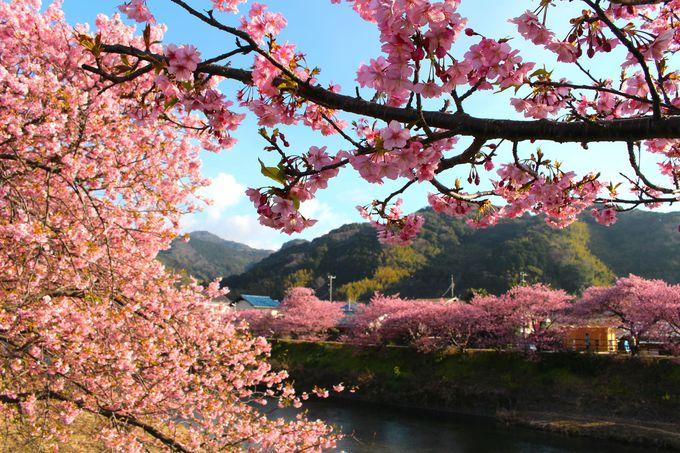 本州一早咲き「伊豆河津桜まつり」で春を先取り