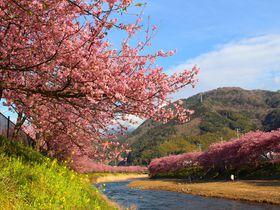 2月下旬〜3月上旬頃が見頃!2018年静岡県「河津桜」の見どころまとめ