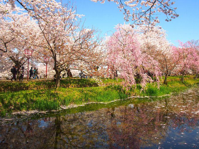 「西の郭」から桜のトンネルを見よう!