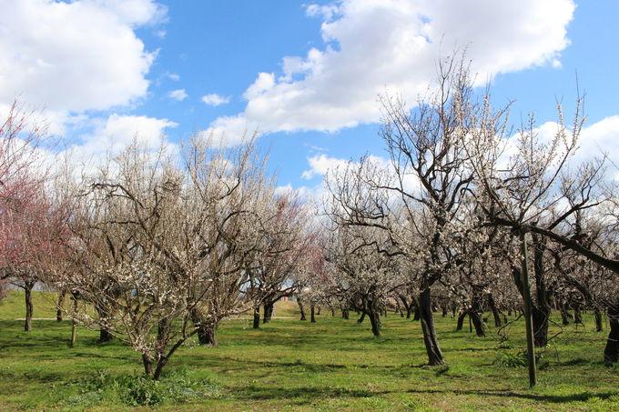 水戸は春を彩る梅の名所
