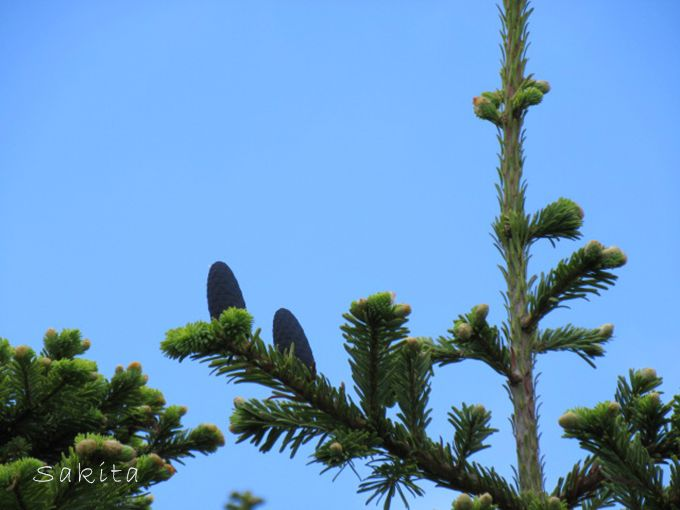 これが松ぼっくり!?意外と知られていない「青森市の木」アオモリトドマツの夏の姿!