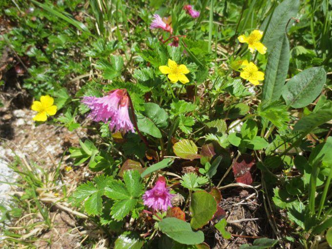 「わぁキレイ」だけじゃない!高山植物をもっと楽しむコツ・有ります