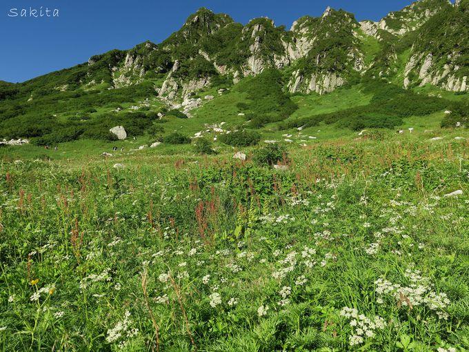 数年に一度だけ!コバイケイソウの大群落は真夏に降った雪のよう!