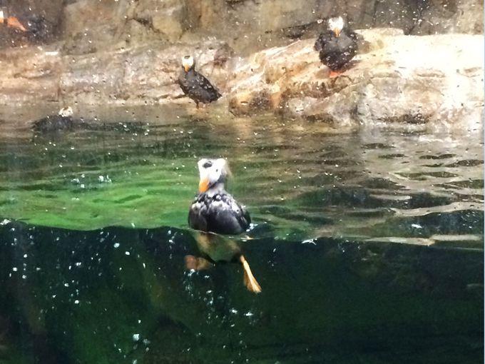 水槽に鳥がいるっ!「ウミガラス&エトピリカ」の瞬間移動に仰天!