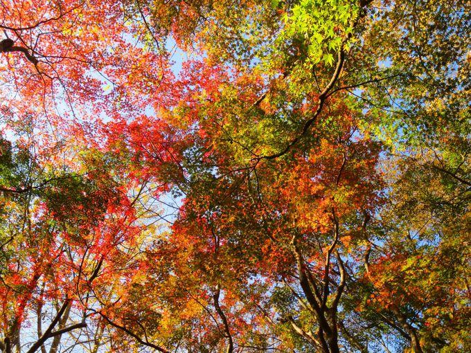 獅子舞の「見上げる紅葉」もみじが染め上げる天空の極彩絵巻