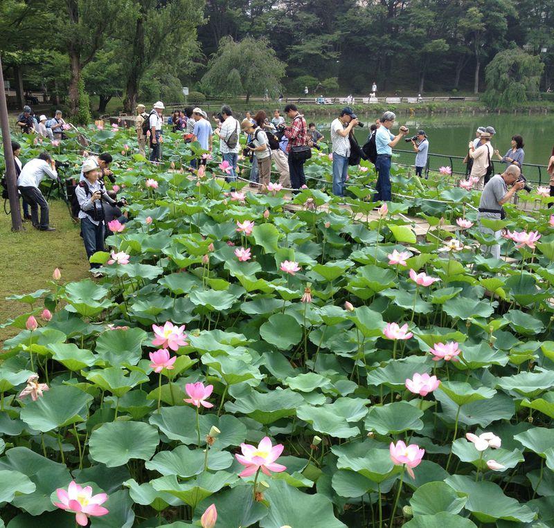駅から1分で極楽へ!千葉公園の大賀ハスは6月の早朝がベスト