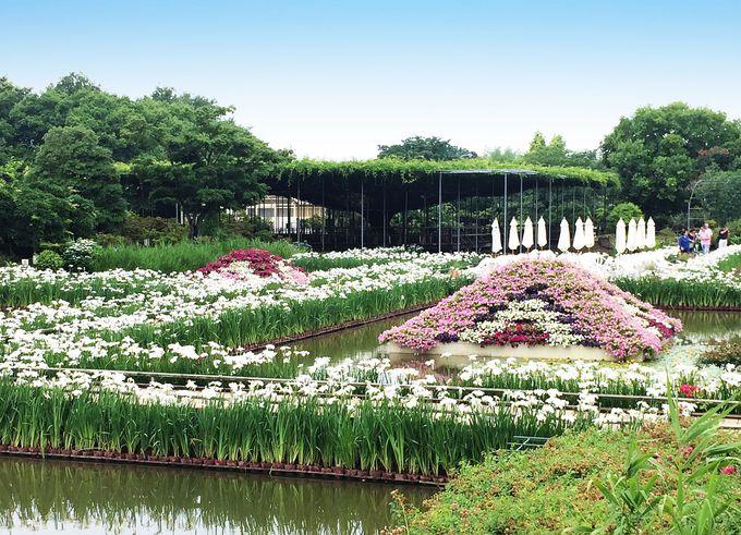 菖蒲の花道を延々楽しめる!「水上花壇」は沿道も美しい