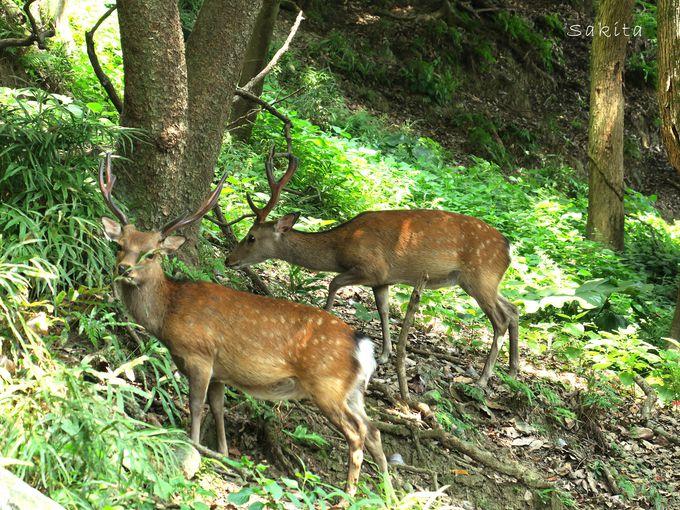 森林浴気分で登ってみよう 緑の森は野生の鹿のサンクチュアリ