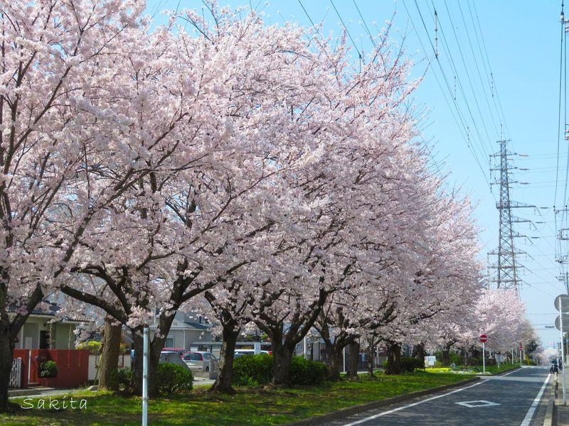 ラストは桜のトンネル!千葉「花見川」で堪能したい全長4kmの桜道