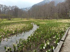 水芭蕉の密集は尾瀬以上!長野「奥裾花自然園」で81万本の大群落を堪能