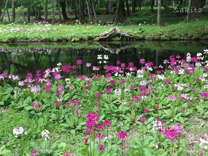 湿地に群生する神秘の花「クリンソウ」千手ヶ浜はまさに絶景