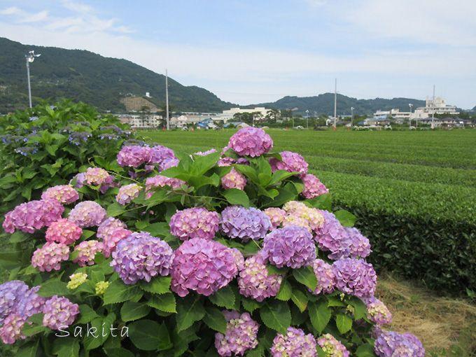 田園だけじゃない 茶畑や富士山とあじさいのコラボも魅力!