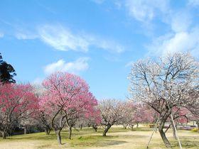 茨城・偕楽園には本園以外にも3つ梅林がある!その魅力とは?