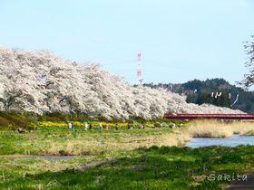 桜並木が両岸5キロ!福島・夏井千本桜は4月中〜下旬が見頃