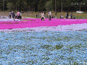 千葉でネモフィラと芝桜を同時に見よう!富田さとにわ耕園