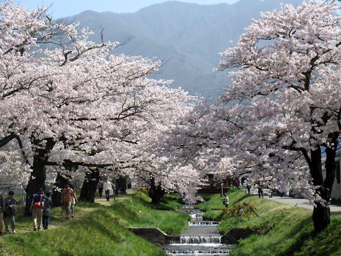 8.観音寺川の桜並木