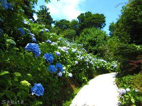 千葉・妙法生寺の麻綿原ブルー!2万株の紫陽花は7月も見頃