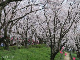 埼玉でおすすめの桜スポット10選 個性あふれる名所たち【2021】