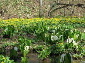 感動!長野・飯綱町「むれ水芭蕉園」は黄白緑の3色の花三昧