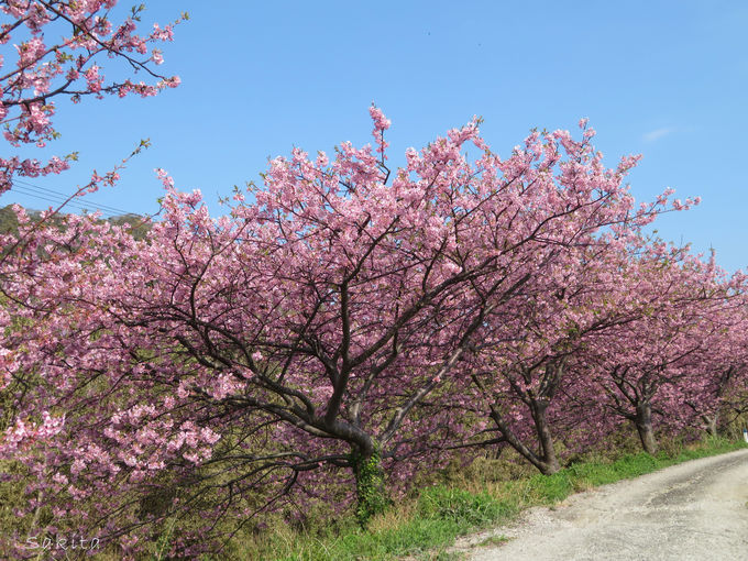 イベント会場以外にも多くの頼朝桜が