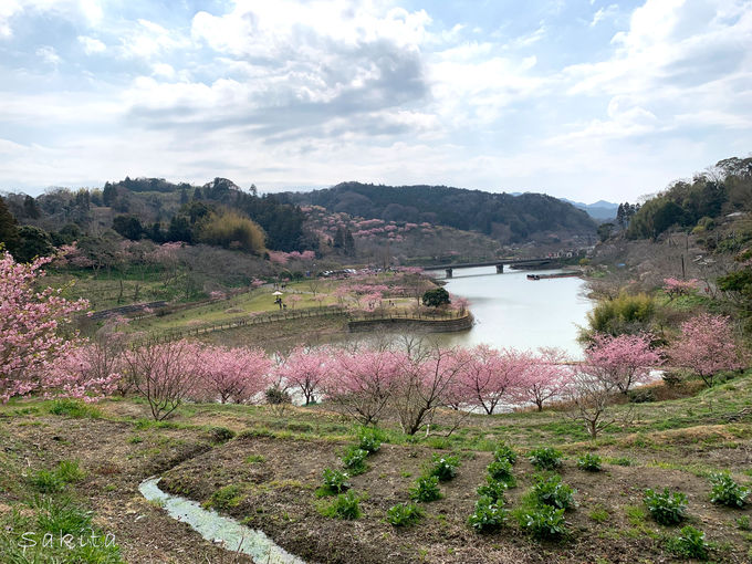 頼朝桜はここにも ピンクにかすむ佐久間ダム