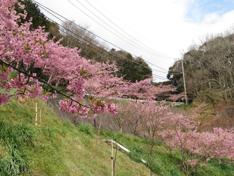 水仙・河津桜の開花リレーは12月から!千葉・鋸南町の花まつり