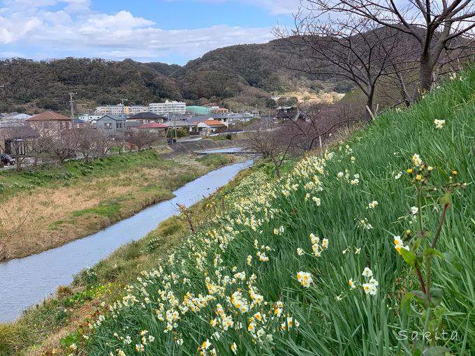開花リレーは12月の水仙まつりから