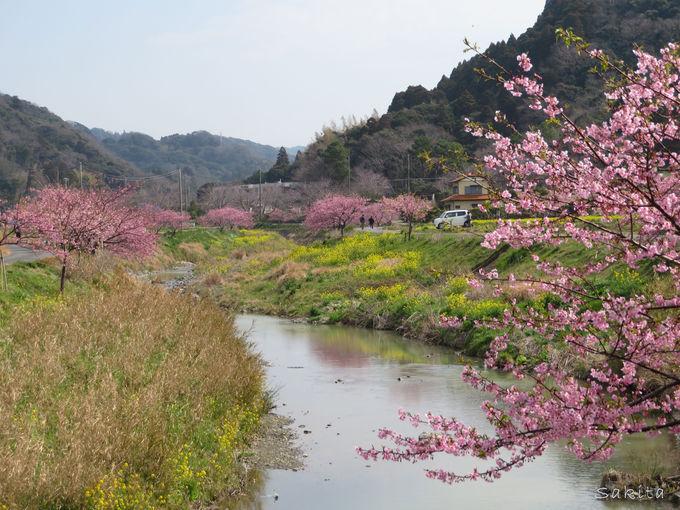 2〜3月 町がピンクに染まる「頼朝桜まつり」