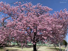 千葉で2〜3月に河津桜が見たい!おすすめの早咲き桜並木3選