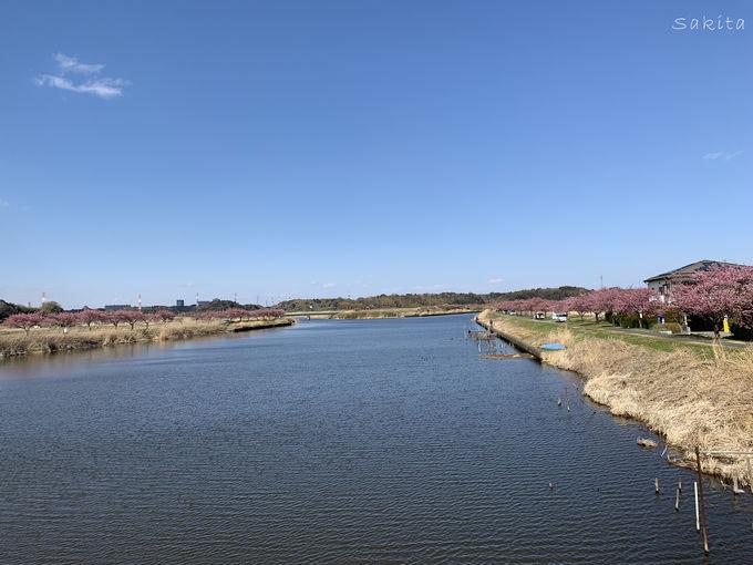 八千代市「新川千本桜」は4.6km