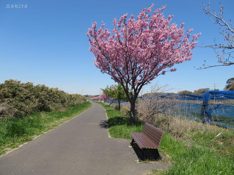 千葉・八千代市「新川千本桜」は両岸1200本!サイクリングもおすすめ