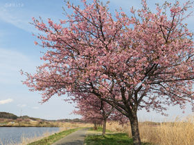 千葉・八千代市「新川千本桜」は両岸1200本!河津桜ライトアップも