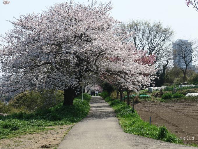 新川千本桜は実は1200本!