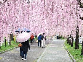視界が桜ピンク一色!喜多方「日中線しだれ桜並木」が美しい