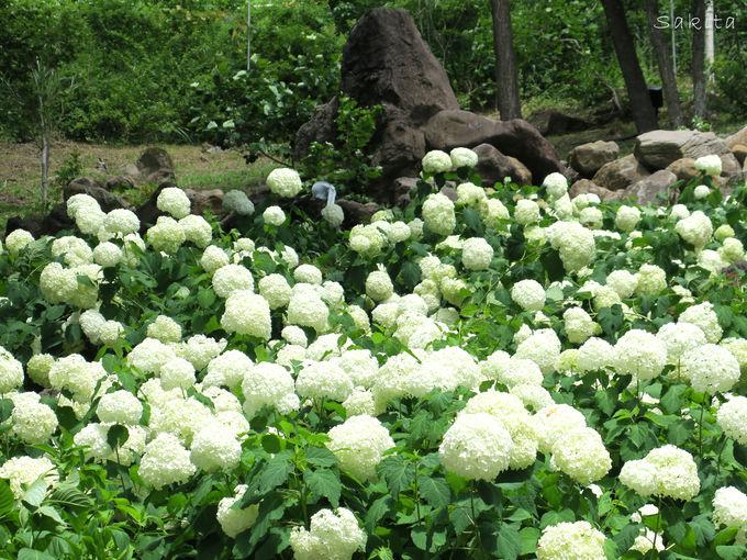 幽玄の白樺エリアも百花繚乱