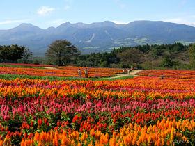 夏〜秋の那須高原に「ケイトウ」の地上絵!那須フラワーワールド