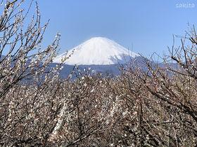 小田原市「関東の富士見百景」見晴台で曽我梅林と大パノラマを堪能