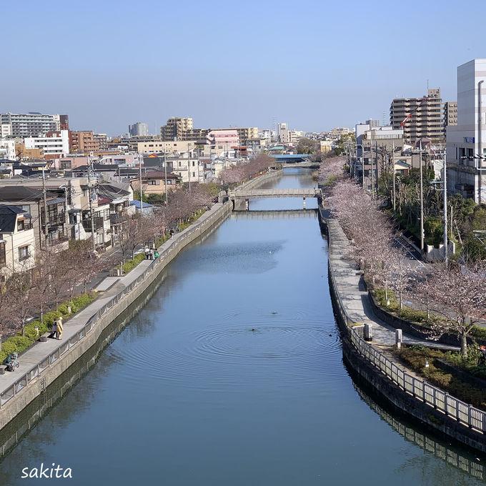 歴史ある新川が千本桜として新名所に
