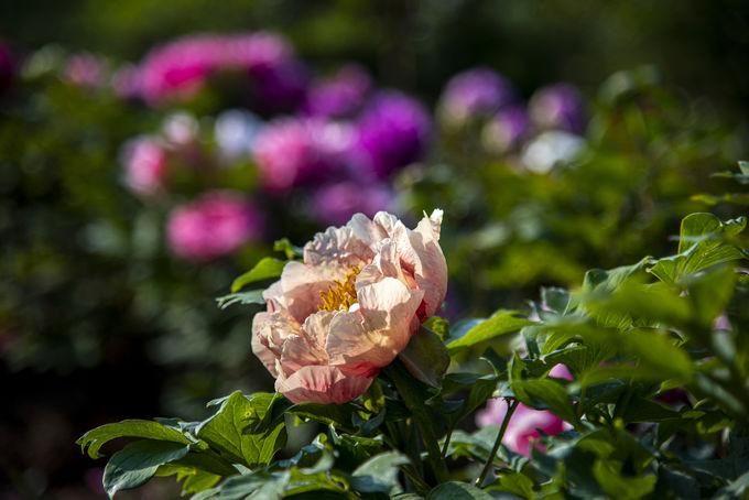 牡丹とシャクヤクが咲き誇る圧巻のお花畑