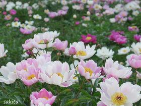 圧巻のお花畑!牡丹&シャクヤク園「つくば牡丹園」が期間限定で開園