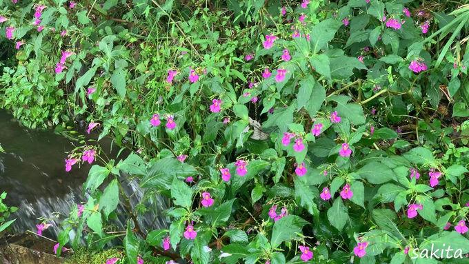 可愛い赤紫の「つりふね草」も見ごろ