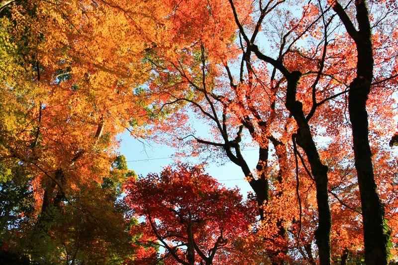 まさに絶景、夕日に輝く紅葉の森!