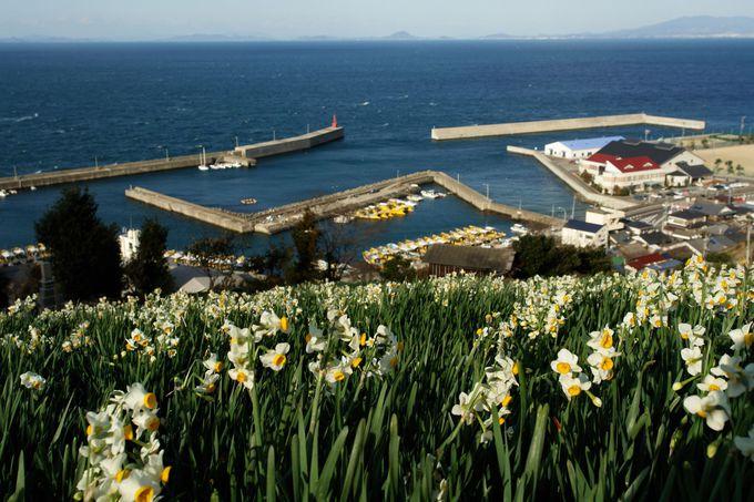 瀬戸内海の港町と水仙畑が織りなす最高のゴラボ!