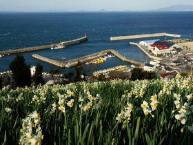 瀬戸内海と一面の水仙畑はまさに絶景!愛媛「日本水仙花開道」